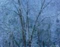 Blue Oak  print