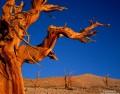 Bristlecone Pine Sentinels print