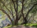 Oaks - San Ysidro Trail print