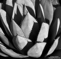 Spiked Agave print