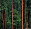 Tall Pines print