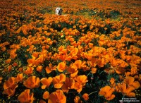 Antelope Valley, California, labrador, poppies