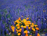 Gorman, California, poppies,lupine, poppy