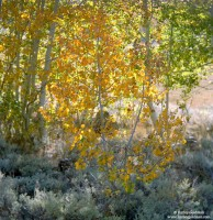sierra, nevada, mountain, yellow, aspen