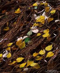 shore, river, merced, leaves, needles, yosemite, national, park