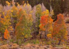 Aspen Grove Ablaze with Fall Color