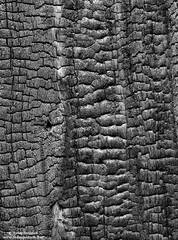 tree, charred, pattern, yosemite, national, park