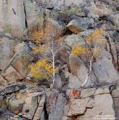 cliff, dweller, eastern, sierra, mountain, ca