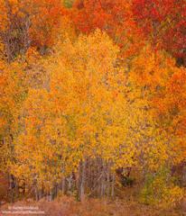 fall, color, aspen, eastern, sierra, mountain