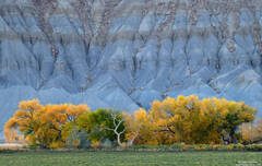 Cottonwoods And Blue Hills