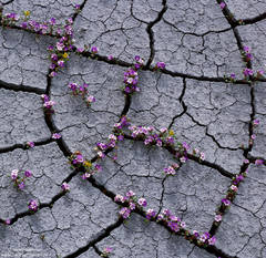 Cracked Mud and Flowers