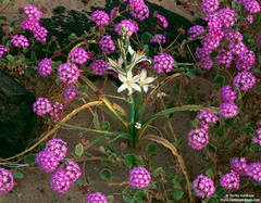 Desert Lily and Verbena