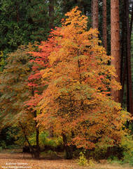 Dogwood, fall, autumn, color, yosemite, national, park, valley
