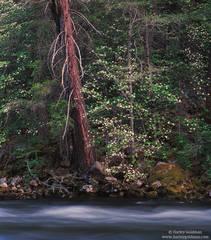 yosemite, national, park, dogwood, merced, river