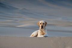 Dune Dog