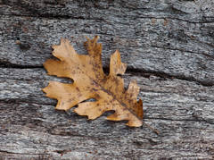 season, end, yosemite, national, park, oak, leaf