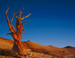 Ancient, Bristlecone, Pine, Forest, White Mountains, CA