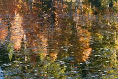 Floating Aspen Leaves