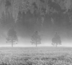 fog, tree, yosemite, valley, national, park