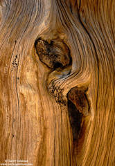 Foxtail Pine Grain 1
