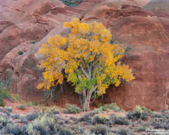 cottonwood, capitol, reef, national, park