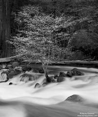 Hanging On - Merced River