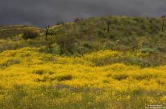 flowers, carrizo, plain, monument, yellow, purple