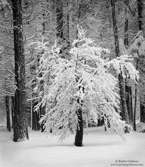 oak, yosemite, valley, snow, pine, national, park