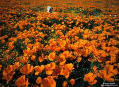 Antelope Valley, California, labrador, poppies