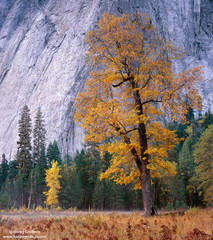 oak, yosemite, valley, park