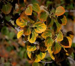 aspen, leaves, leaf, sierra, nevada, mountain