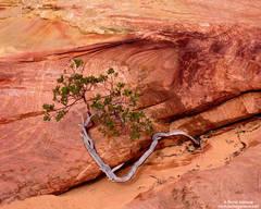 Manzanita In The Red Rock