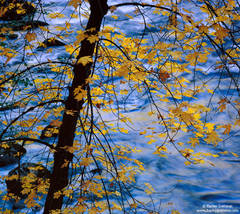 maple, leaves, merced, yosemite, valley, national, park
