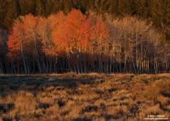 aspen, tree, eastern sierra, nevada, morning, light, mountains