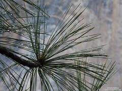 needles, rain, yosemite, park, spring, pine