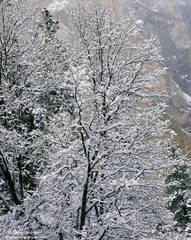 oak, yosemite, national, park