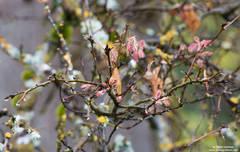 oak, bud, lichen, yosemite, park, spring, el capitan, meadow