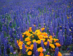 Gorman, California, poppies,lupine, poppy