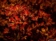 Red Leaves - California Laurel