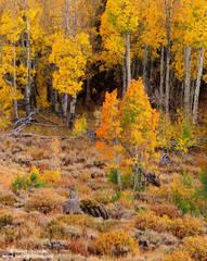 fall, color, sagebrush, aspen, eastern, sierra