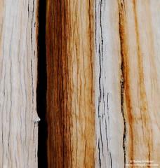 bark, bristlecone, pine, white, mountain, ca