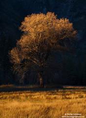 yosemite, park, oak
