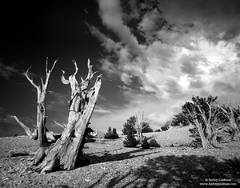 bristlecone, pine, white, mt., mountain, storm, ancient