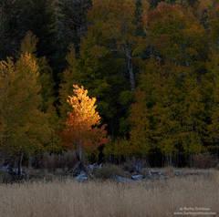 aspen, last, light, eastern, sierra, nevada