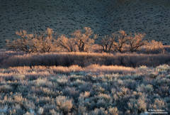 sage, dawn, first light, owens valley