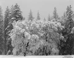 oak, yosemite, national, park, winter