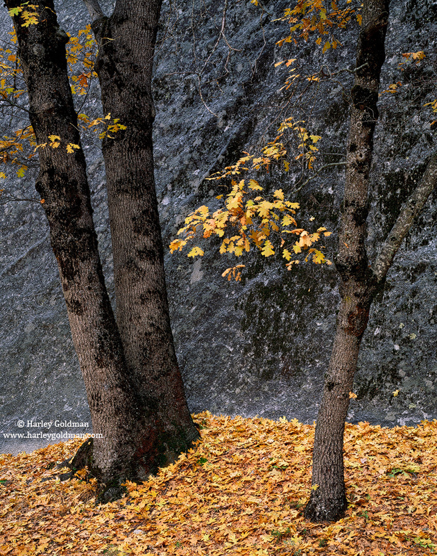 Yosemite, Valley, National Park, black, oak, autumn, leaves, photo