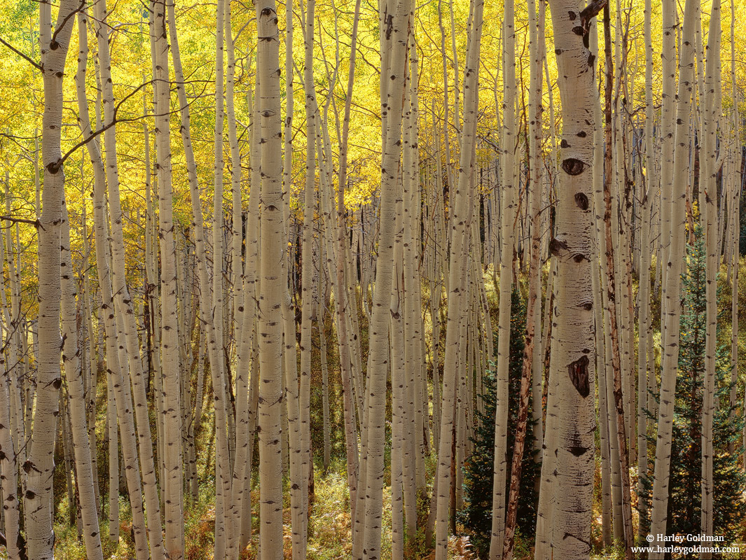 backlit, aspens, kebler, colorado, co, pass, photo