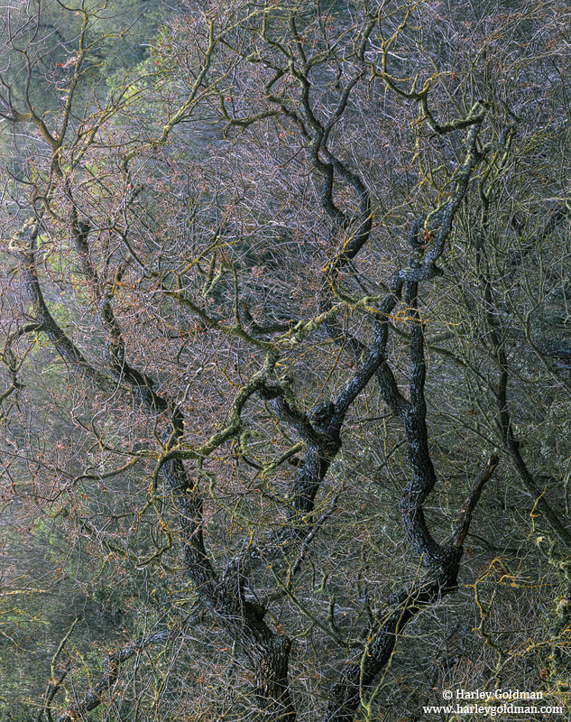 oak, merced river, yosemite, photo