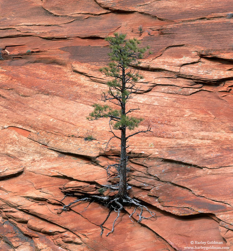 barely hanging on, zion, national park, utah, photo